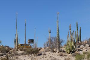 Kakteen mit Bus auf der Baja California