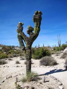 Kaktusköpfe