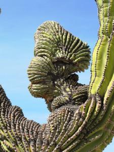 Kaktuskrieger