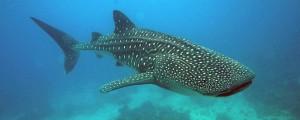 Walhai (Fremdfoto)