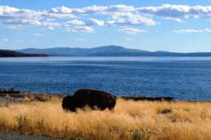 Buffalo am Yellowstone Lake
