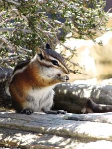 Streifenhörnchen beim Mittagessen