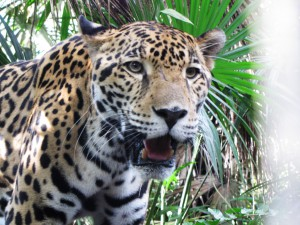 Jaguar im Belize Zoo