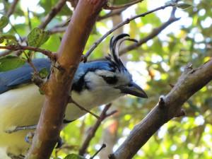 Elsterhäher (White-throated Magpie-Jayein): neugieriger und eitler Vogel, aber doch nett