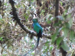Quetzal, auf ca. 2800 m üNN